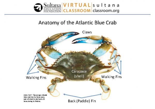 Blue Crab Anatomy