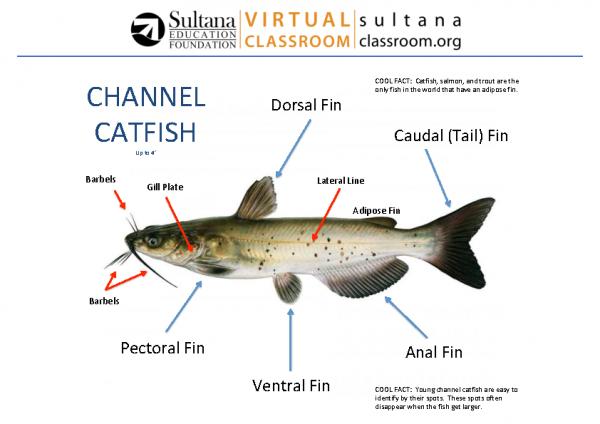 Channel Catfish Anatomy