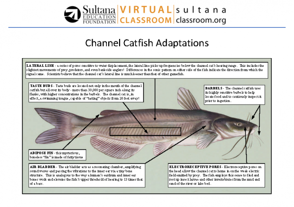 Channel Catfish Facts
