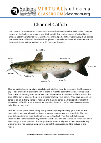 Channel Catfish Text