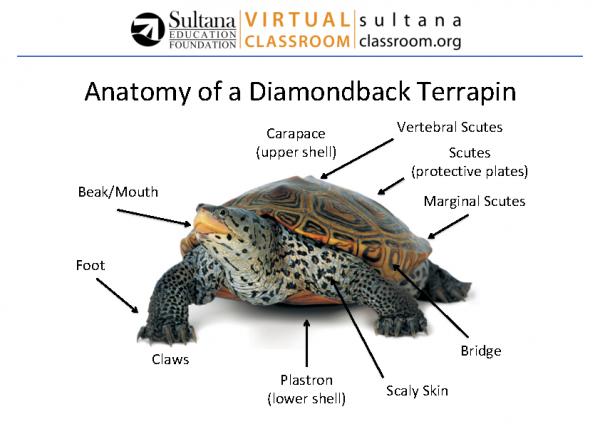 Diamondback Terrapin Anatomy