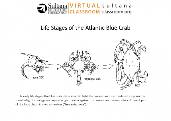 Life Stages of the Blue Crab